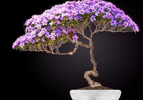 Cosa vuol dire bonsai